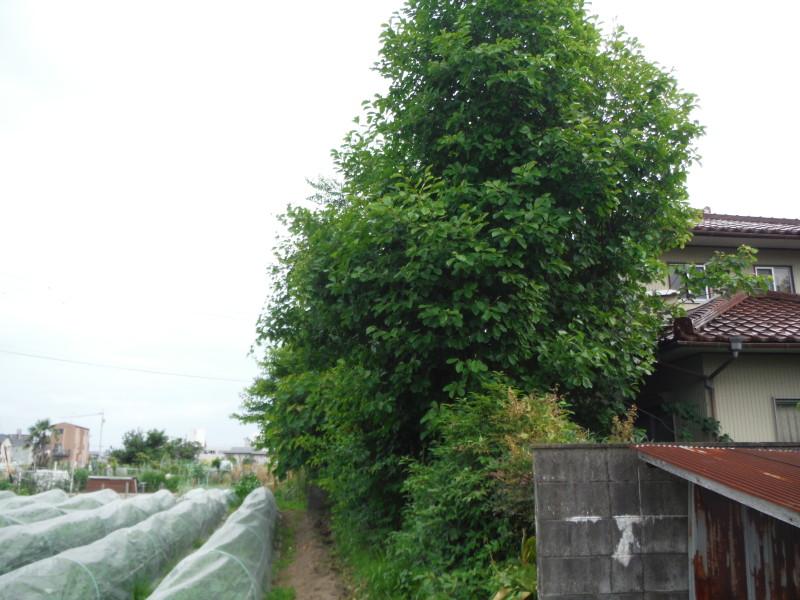 岐阜市の庭木の伐採