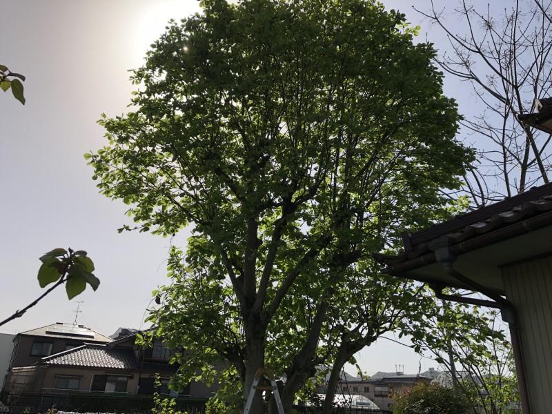 岐阜市|庭木の伐採