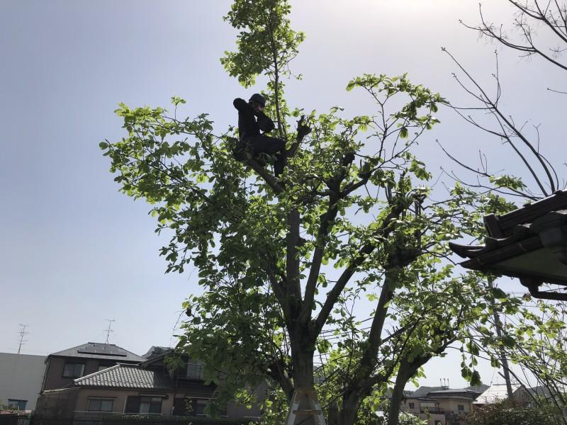 岐阜市|庭木チェンソ-伐採