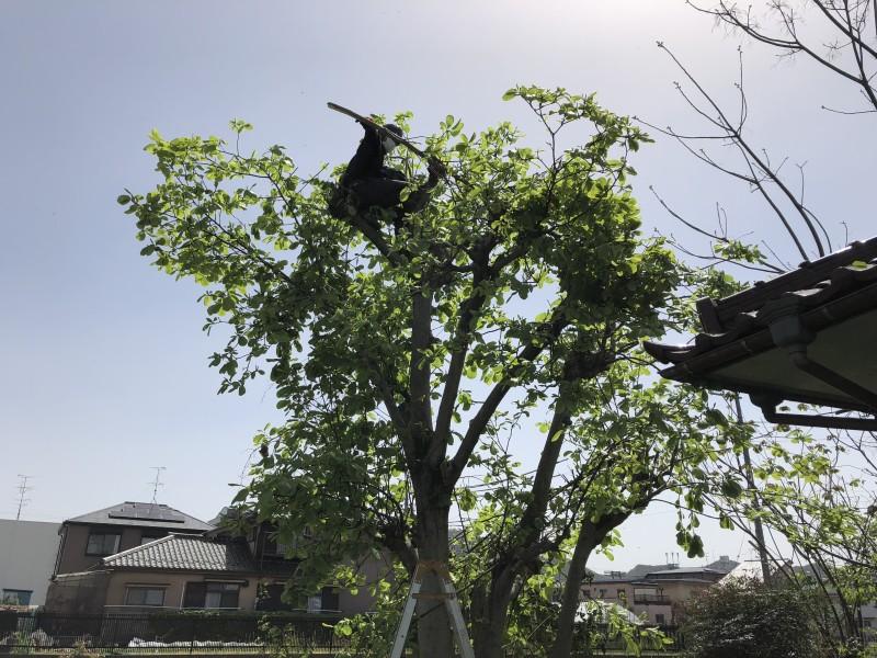 岐阜市 庭木チェンソ-伐採