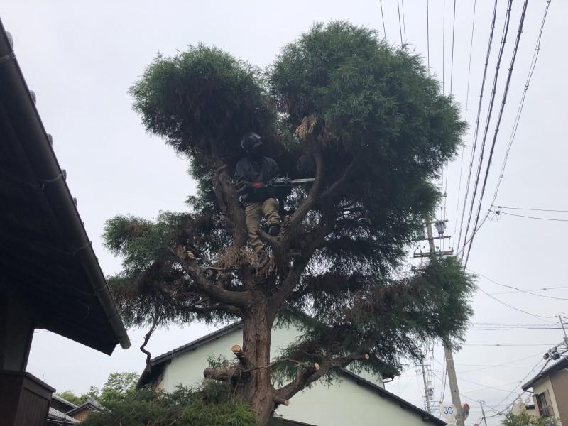 上から順番に枝葉を落としていきます 岐阜市の庭木伐採