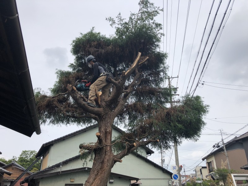 さらに上部の枝葉を落としていきます 岐阜市の庭木伐採