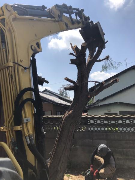 幹をワイヤーで吊りながら、太い幹を切り倒します 岐阜市の庭木伐採